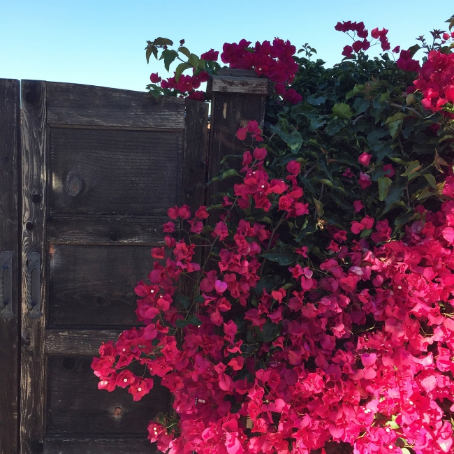 Bougainvillea on joyfetti.com #JOYFETTI