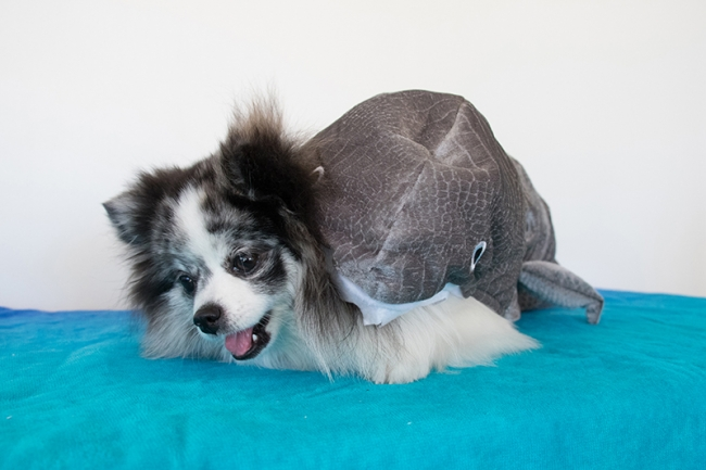 Minty in shark costume for Shark Tank season premiere, on mintymondays.com_2